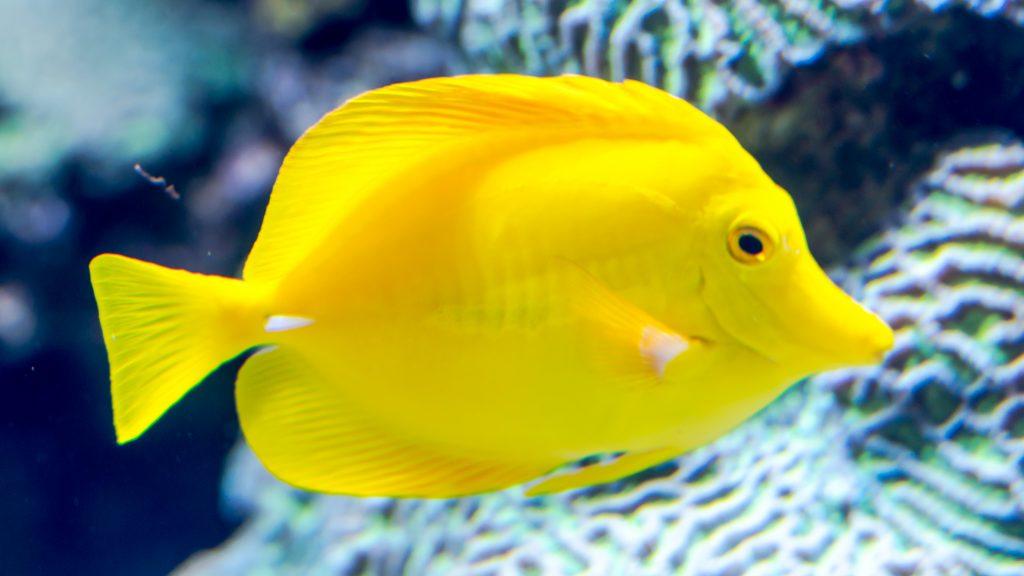 ripley's aquarium of the smokies yellow tang